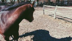 Horse Looking At Shadow On Ground In Ranch On Sunny Day